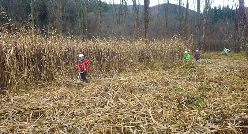 刺巻湿原水芭蕉群生地内草刈り作業風景2